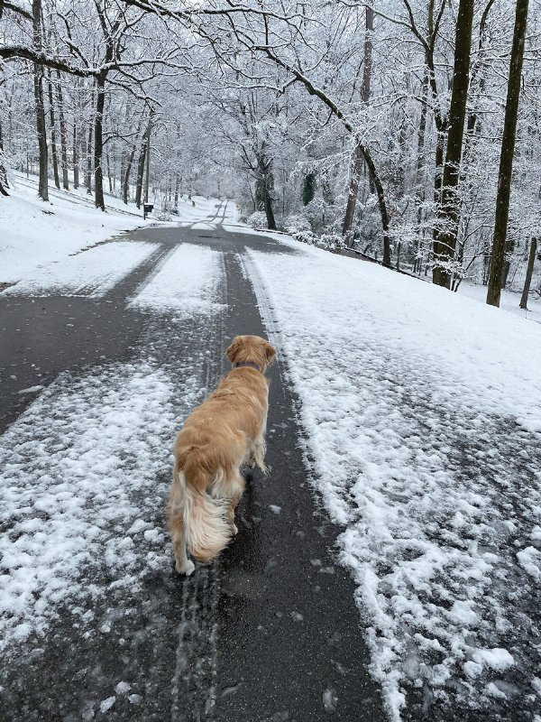 Alexandria Foster's dog, Charlie, contemplates the snowy path in front of him on Briarwood Circle. / Photo by: Courtesy photo