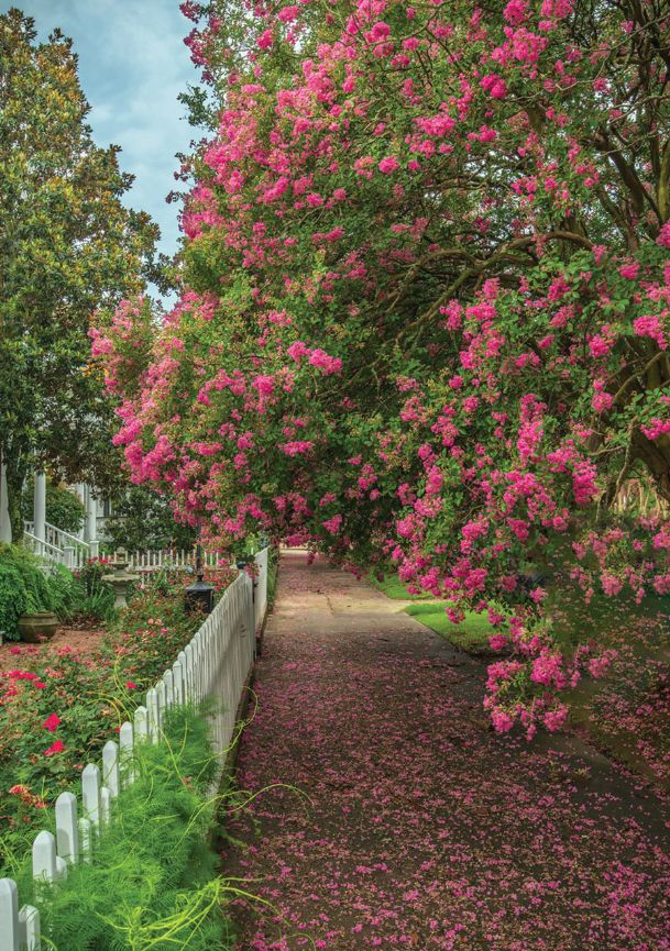 Several thousand crepe myrtles will be on display during the Natchez International Crepe Myrtle Festival June 21-22.
