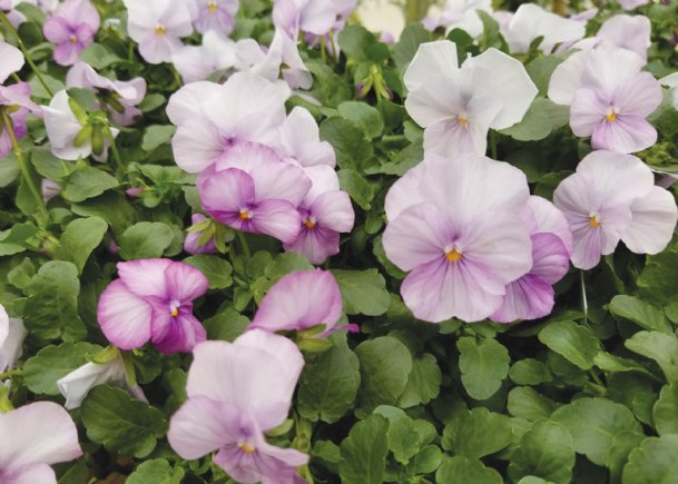 Violas such as these Sorbet lavender pinks are about 4 to 6 inches tall and wide. When massed, they seem to cover the landscape or container with a floral blanket.