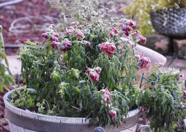 Snapdragons are a go-to cool-season plant, but they benefit from being moved indoors when temperatures drop.