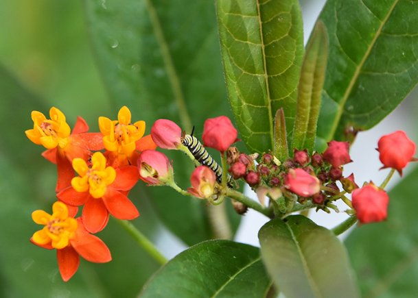 The milkweed Asclepias curassavica Tropical Beauty blooms before native milkweed, providing early-season forage for caterpillars such as this Monarch.