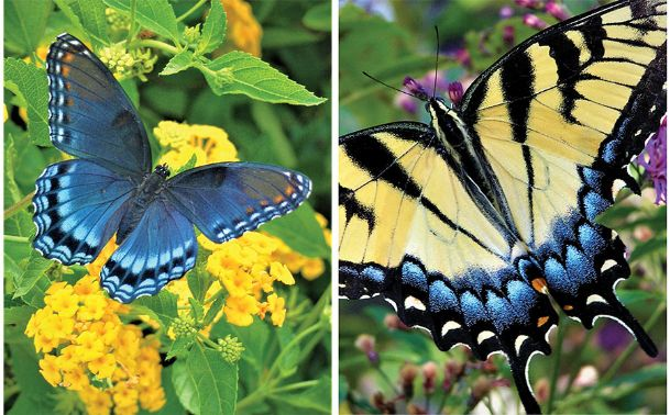 Butterfly gardens are popular in the South. Zinnias, perennial salvias and lantana are three of the top plants to use in those.