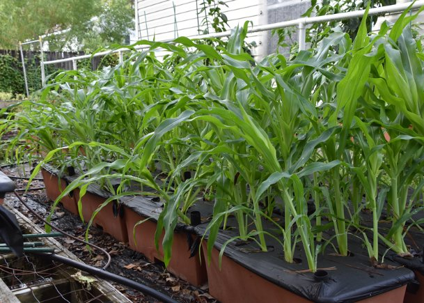 This container-grown plot of fall sweet corn is about knee high and very susceptible to storm wind damage.