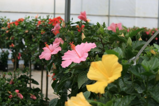 Tropical hibiscuses come in a wide range of colors that add a vivid color splash to gardens. They can be grown in the ground or in containers.