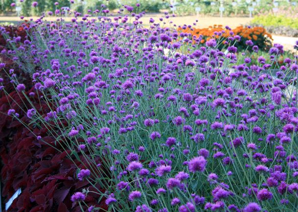 Iridescent, hot-pink flowers cover Fireworks gomphrena until fall frosts. The bright-yellow tips give the appearance of exploding fireworks and inspire the name for this 2010 Mississippi Medallion winner.