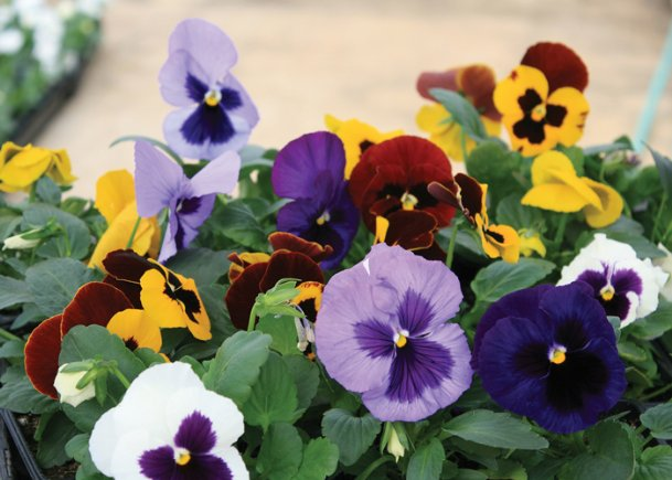 Flowers with dark blotches such as these are thought of as a more traditional pansy, but pure color s selections called clear are available in the Matrix series.
