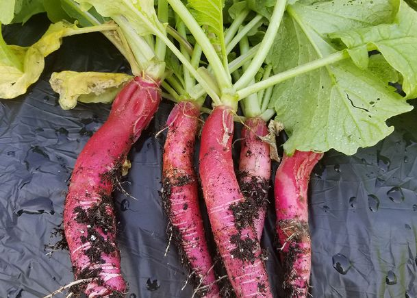 Heirloom plants can be called multiple names. This is likely the case for the Long Beach Red radish.