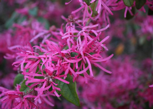 The flowers of loropetalum have strap-like petals, and the plant is commonly called Chinese fringe flower.