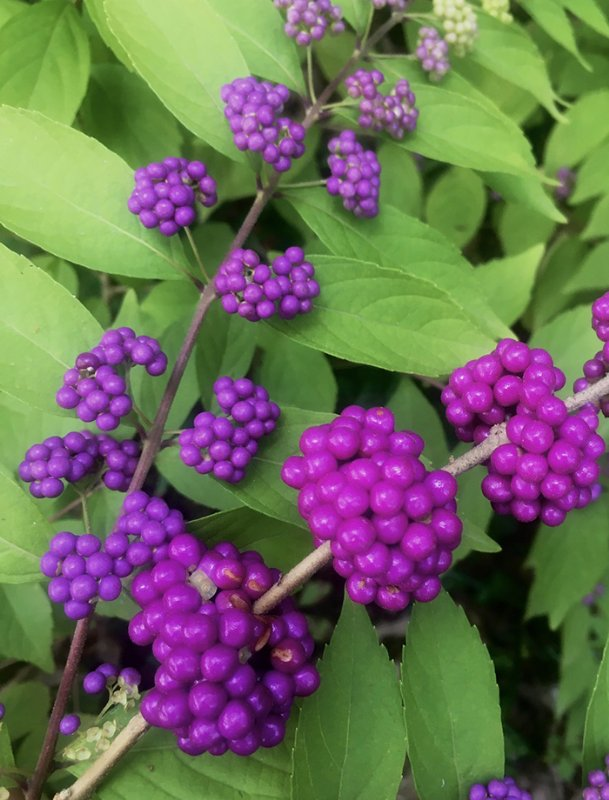 Chinese and American beautyberries are equally beautiful.