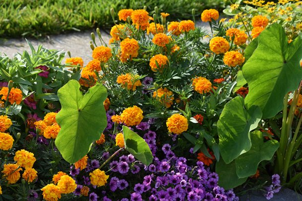 African marigold is sometimes called American marigold, and its wide variety of colors and sizes combine well with other flowers in the landscape.