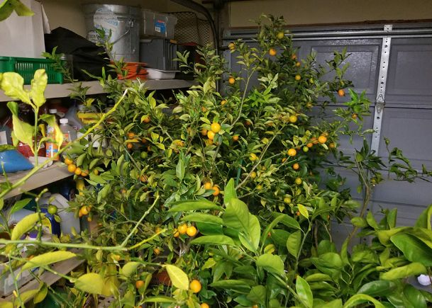 Citrus must be protected from the cold. When planted in large containers, they can be moved indoors, such as to a garage during freezing weather.