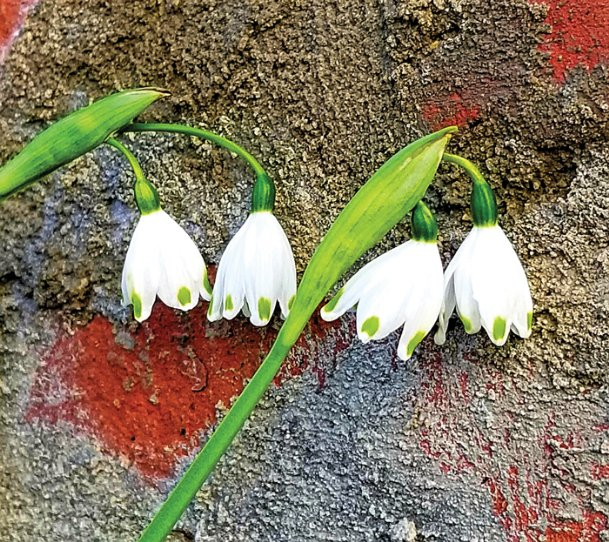 Ask Rufus Snowdrops Harbinger Of Spring And Hope The Dispatch