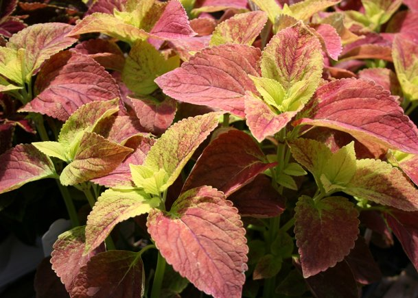 Sun coleus such as this Alabama selection will continue to be colorful from summer all the way to frost when kept consistently moist.