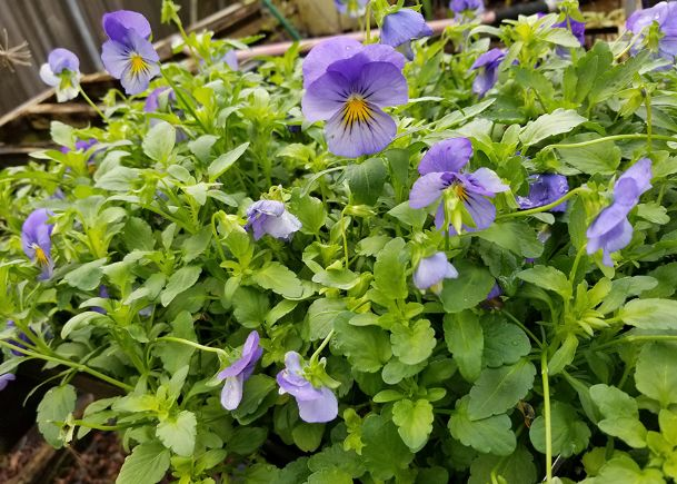 The spreading characteristic of Cool Wave pansies such as these Blue Skies makes them a perfect ground cover in big containers. They spill over edges and are also a great choice for hanging baskets and landscape beds.