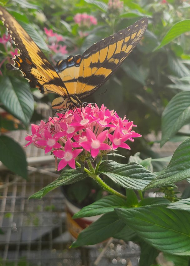 Swallowtail butterflies are fans of pentas, so be sure to include some in your garden to attract these beauties.