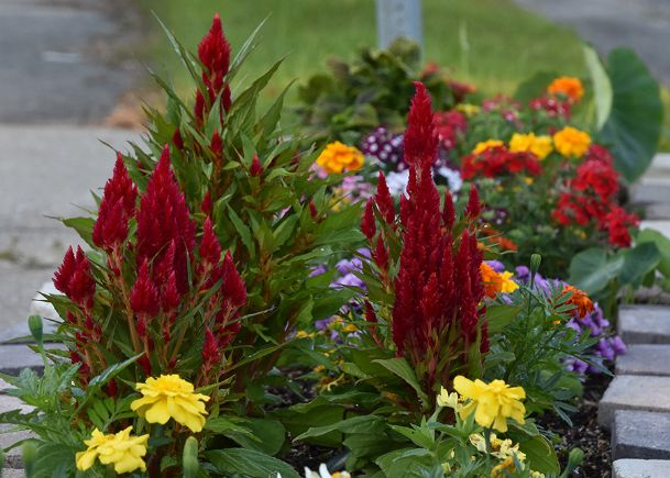The Fresh Look group of celosias have bright-green foliage and come in a great variety of colorful plumes that bloom.
