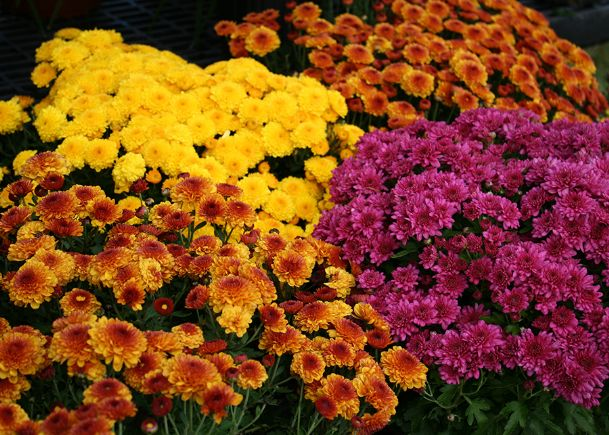 Fall mums come in a variety of colors that can match any decor. Their numerous, colorful blooms make an instant impact.