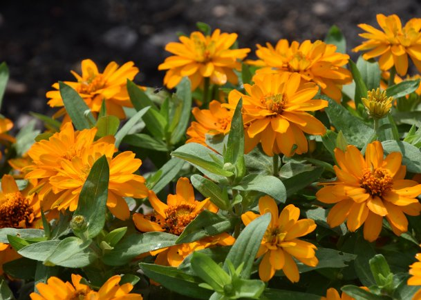 Profusion zinnias come in both single- and double-flower forms. This is a golden double zinnia.