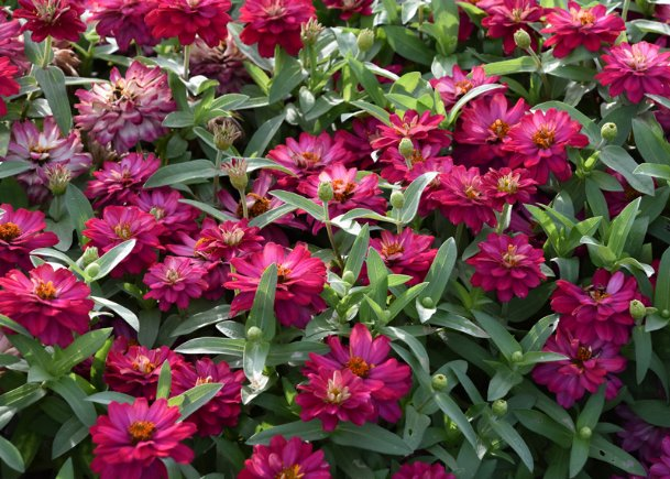 If you decide to grow Zahara zinnias like this Double Cherry selection, you will have to make a variety of choices, such as whether you want a single or double flowering type and what colors to choose.