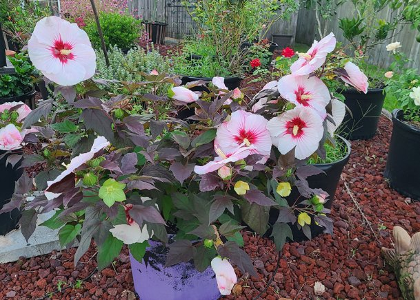 The Summerific Summer Storm hibiscus has been excellent this year. After a bountiful set of blooms this spring, it is blooming again in late summer.