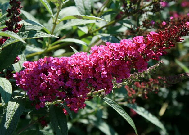This Buddleia Buzz Velvet, often known simply as butterfly bush, has sweetly fragrant panicles of tiny blooms displayed on arching graceful stems. Butterflies, bees and hummingbirds love these flowers.
