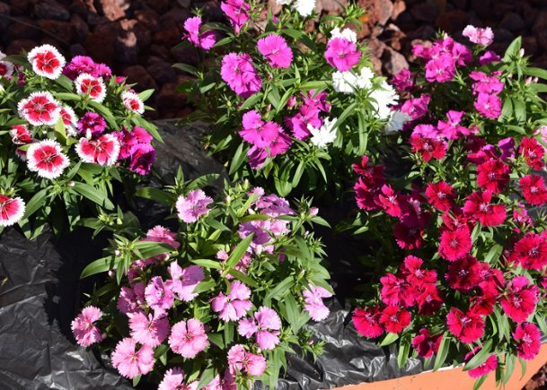 Telstar dianthuses make great container plants and are great partners in cool-season combination containers.