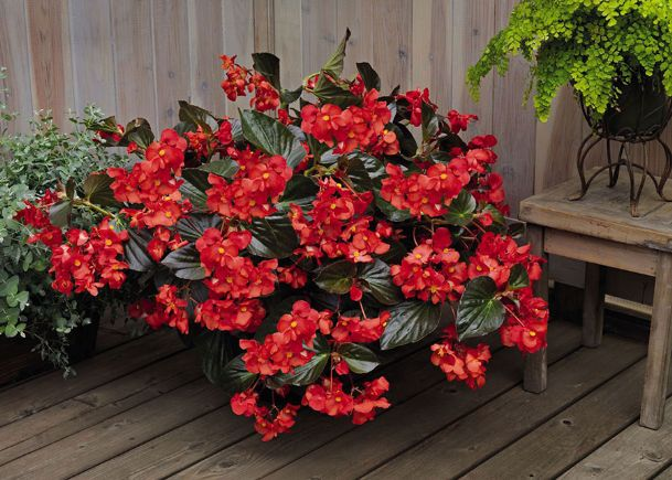 The leaves of Begonia Whopper are huge and provide a great background for the main color show, such as these flowers seen on the Red with Bronze Leaf.