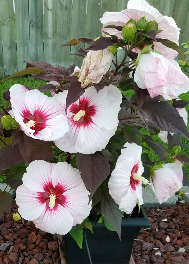 Hardy hibiscus adds value to summer landscapes by displaying enormous flowers. The flowers of this Summerific Perfect Storm reach 9 inches across.