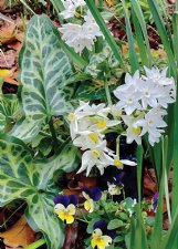 Paperwhites and painted arum help fill the garden when other perennials take a rest.