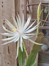 Night-blooming cereus is a good reason to keep late watch in the garden.