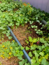 Tucking winter plantings now into summer holes left in your garden beds can help transition to cooler seasons.