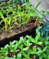 Felder Rushing keeps seedlings outdoors any time temperatures are about 50 degrees.