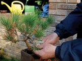 Careful pruning is required on a Japanese black pine to constrain the length of needles the tree produces.