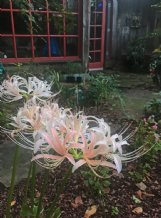 Heirloom white spider lilies grow in Felder Rushing's garden. The lilies have also been referred to as hurricane, resurrection, magic or equinox lilies - or