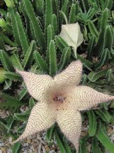 Many plants in our gardens give off scents, some better than others. Carrion cactus reeks of old meat.