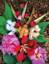 Felder Rushing adds color to his garden with a variety of plants including, pictured, okra, roselle, confederate rose, white and brown cotton and scarlet rose mallow.