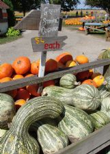 The green-striped cushaw is a squash, although its colors and shape make it perfect for fall decorating.