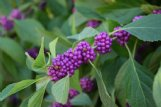American beautyberry is a native shrub with a big fall impact that makes a great selection for Mississippi yards and landscapes.