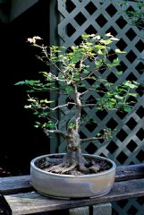 This trident maple, grown from a seedling, is one John Weathers acquired from a member of the Alabama Bonsai Society several years ago.
