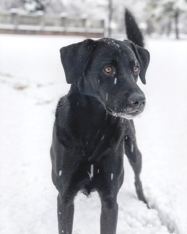 Heather Mucha's dog, Maggie, looks intently out at the snow at Columbus Air Force Base. Maggie was adopted from the Columbus-Lowndes Humane Society four years ago. / Photo by: Courtesy photo